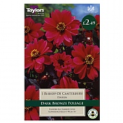 Dahlia Bishop Of Canterbury - 1 Bulb