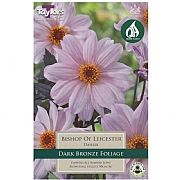 Dahlia Bishop Of Leicester - 1 Bulb