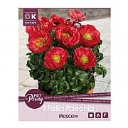 Paeonia Patio Moscow - 1 Bulb