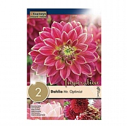 Dahlia Mr. Optimist - 2 Bulbs