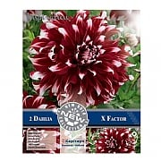 Dahlia X Factor Decorative - 2 Bulbs
