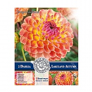 Dahlia Decorative Lakeland Autumn - 2 Bulbs