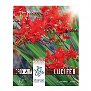 Crocosmia Lucifer Fiery Red Blooms - 15 Bulbs