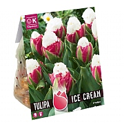 Tulip Double Late Ice Cream (5 Bulbs)