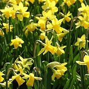 Narcissus Dwarf Tete A Tete Carry Pack (50 Bulbs)