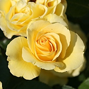 Anniversary Wishes Floribunda Rose 4.5L