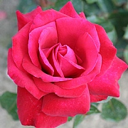 Thinking of You Hybrid Tea Rose 4.5L