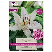 Lily Muscadet - 3 Bulbs