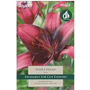 Lily Purple Dream - 2 Bulbs