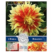 Dahlia Decorative Bodacious - 2 Bulbs