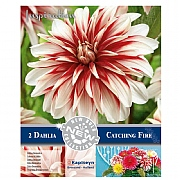 Dahlia Decorative Catching Fire - 2 Bulbs