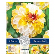 Dahlia Pompon Double Jill - 2 Bulbs