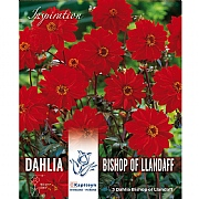 Dahlia Bishop Of Llandaff - 3 Bulbs