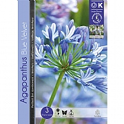 Agapanthus Blue Velvet - 3 Bulbs