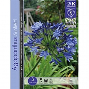 Agapanthus Sunfield - 3 Bulbs