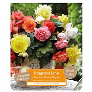 Beautiful Gardens Begonia Fragrant Love - 4 Bulbs