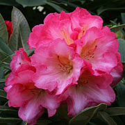 Rhododendron Surrey Heath - 3 Ltr Pot