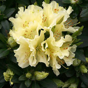 Rhododendron Patty Bee - 3 Ltr Pot