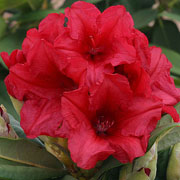 Rhododendron Dopey - 3 Ltr Pot