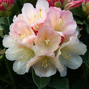 Rhododendron Golden Torch - 3 Ltr Pot