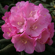 Rhododendron Morning Cloud - 3 Ltr Pot