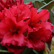 Rhododendron Titian Beauty - 3 Ltr Pot