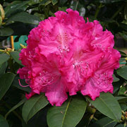 Rhododendron Germania - 7.5 Ltr Pot