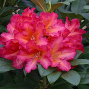Rhododendron Golden Gate - 7.5 Ltr Pot