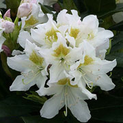 Rhododendron Cunningham's White - 7.5 Ltr Pot