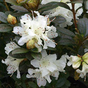 Rhododendron Cream Crest - 3 Ltr Pot