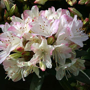 Rhododendron Ginny Gee - 3 Ltr Pot