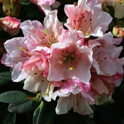 Rhododendron Wee Bee - 3 Ltr Pot