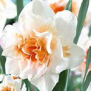 Narcissus Double Replete - (5 Bulbs)