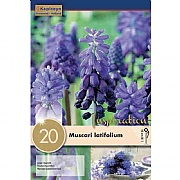 Muscari Latifolium - (20 Bulbs)