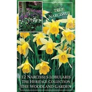 Narcissus lobularis - (12 Bulbs)