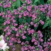 Nemesia Celebration 2L