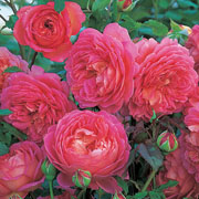 Jubilee Celebration Shrub Rose 6L