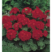 Geranium Moulin Rouge - 6 Seeds