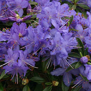 Rhododendron Night Sky - 3 Ltr Pot