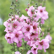 Verbascum Pink Kisses - 2ltr pot