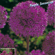 Allium 'Purple Sensation' - (10 Bulbs)