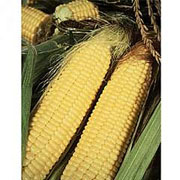 Thompson & Morgan Award of Garden Merit Sweet Corn Lark F1 Hybrid