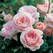 Queen of Sweden Shrub Rose 6L