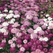Candytuft (Iberis) Dwarf Fairy Mixed - 600 Seeds