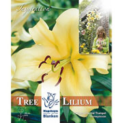 Tree Lilium Honeymoon (Pack of 3)