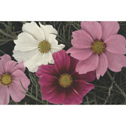 Cosmos Sensation Mixed - 200 seeds