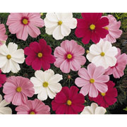 Cosmos Sonata Mixed - 50 seeds