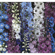 Delphinium Pacific Hybrids Mixed - 110 seeds