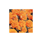 Marigold Boy O Boy Orange (French)