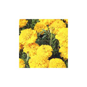 Marigold Boy O Boy Yellow (French)